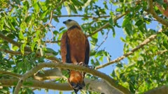 Black-collared Hawk pair in a tree