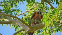 Black-collared Hawk with eel in a tree