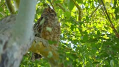 Tropical Screech Owl in a tree