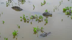 Two Caimans floating in water with vegetation
