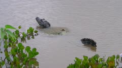 Caiman floating in water vibrates a call
