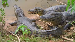Three Caimans resting on the shore