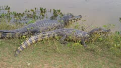 Two Caimans resting on the shore one enters water