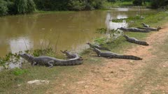 Several Caimans resting on the shore