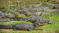 Many Caimans resting on the shore