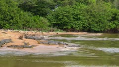 Several Caimans resting on a sandbank
