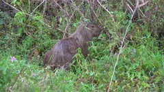 Capybara in green vegetation