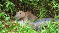 Capybara in green vegetation with Caiman