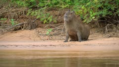 Capybara on the shore