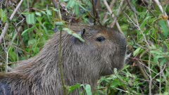 Capybara closeup eating green vegetation