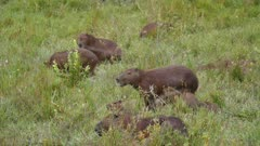 Large family of Capybara in open grassy area