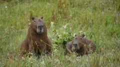 Capybara pair in open grassy area