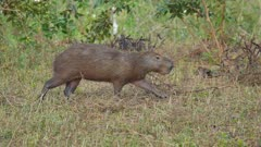 Single Capybara walking across open grassy area