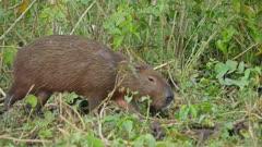 Capybaras feeding in open grassy area