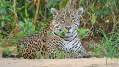 Jaguar lays on river bank