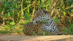 Jaguar lays on river bank