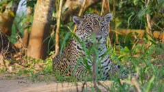 Jaguar lays on river bank and yawns