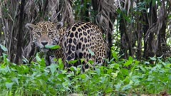 Jaguar in green vegetation turns around