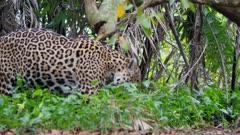 Jaguar in green vegetation sniffs for scent