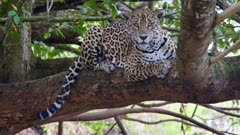 Jaguar lays down on branch
