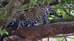 Jaguar retreats along branch