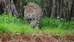 Jaguar walks along shore