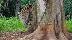 Jaguar walks along shore
