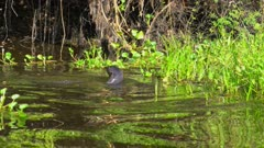 Giant Otter swims along the river bank