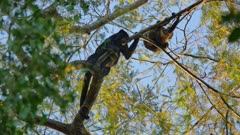 Pair of female Black Howler monkeys
