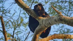 Male Black Howler Monkey