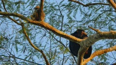Male and female Black Howler monkeys