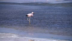 Andean Flamingo in Atacama Salar