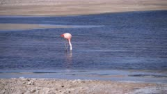 Chilean Flamingo in Atacama Salar