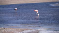 Andean and Chilean Flamingo in Atacama Salar