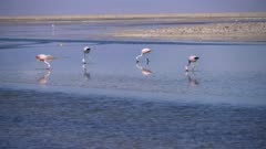 Andean and Chilean Flamingos in Atacama Salar