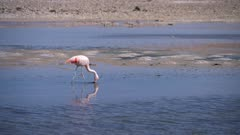 Flamingo in Atacama Salar