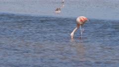 Chilean Flamingo in Atacama Salar