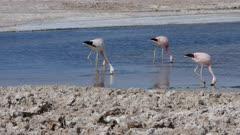 Andean Flamingo in Atacama Salar