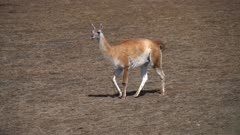 Guanaco walking on short grass