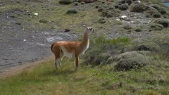 Pan from grazing Guanaco to mountain