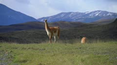 Alert Guanaco turns around