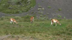 Three Guanacos grazing on grass