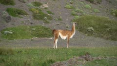 Guanaco standing in grass