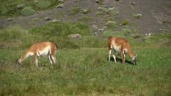 Two Guanacos grazing on grass