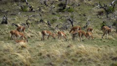 Slow pan to the right across large herd of Guanaco grazing