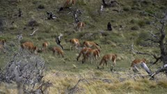 Large herd of Guanaco grazing