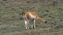 Single Guanaco grazing on hillside