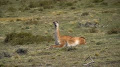Single Guanaco lays to chew its cud