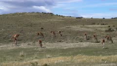Herd of Guanaco grazing on hillside