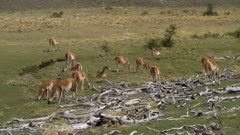 Herd of Guanaco grazing on short grass